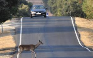 animals crossings breakdown with your car rental